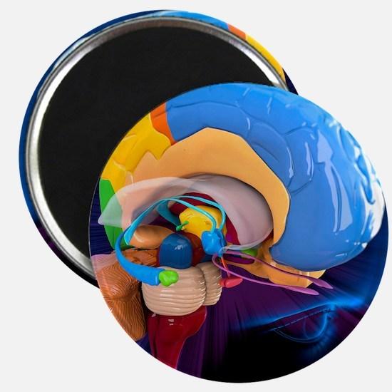 Human brain anatomy, artwork Magnet