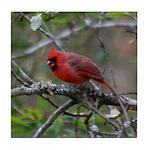 Cardinal on Apple Tree Tile Coaster