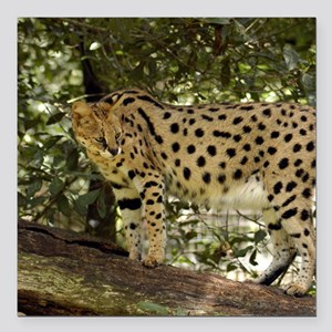 "serval 039 Square Car Magnet 3"" x 3"""