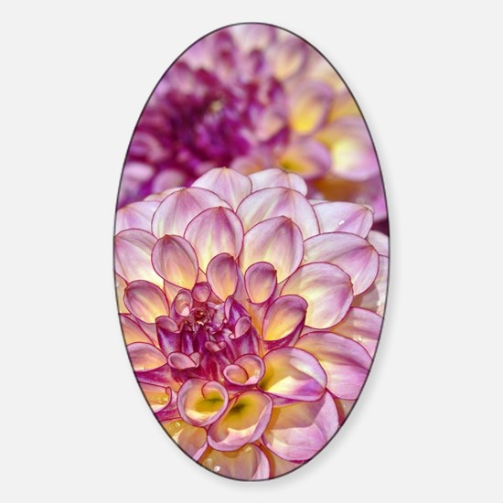 Beautiful pink dahlia flowers Sticker (Oval)