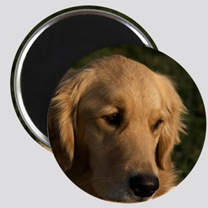 (15) golden retriever head shot Magnet