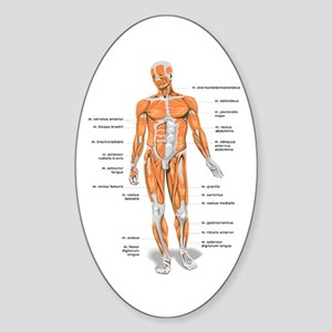 Muscles anatomy body Sticker