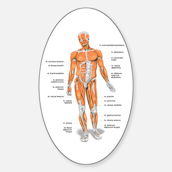 Muscles anatomy body Decal