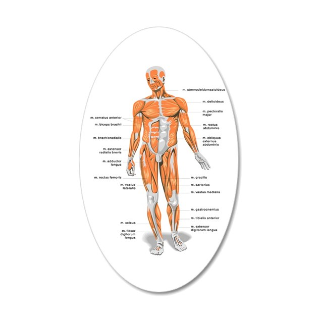 Muscles Anatomy Body Wall Decal By 1stopshoppingts