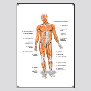 Muscles anatomy body Banner