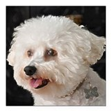 Bichon frise Square Car Magnets