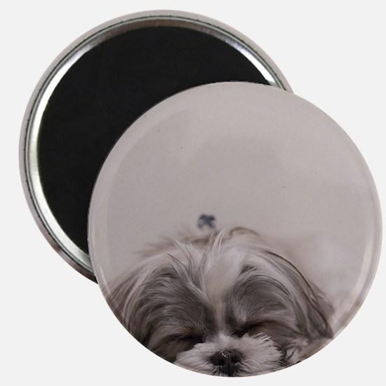 Shih Tzu Puppy Rests Magnets
