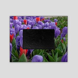 Purple  Red Tulips at Keukenhof Gard Picture Frame