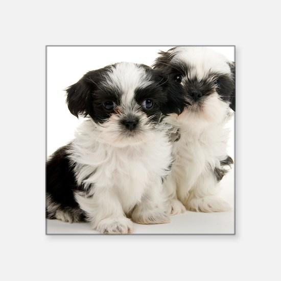 "Two Shih Tzu Puppies Square Sticker 3"" x 3"""