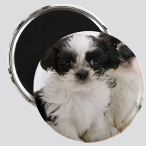 Two Shih Tzu Puppies Magnet