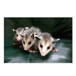 Baby Possum Postcards (Package of 8)