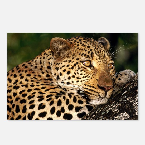 Leopard calander Postcards (Package of 8)