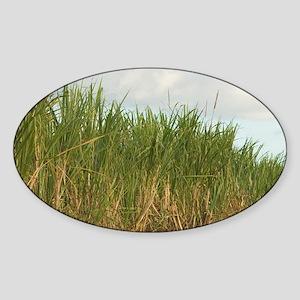 Sugar cane field. (RF)uthwest coast Sticker (Oval)