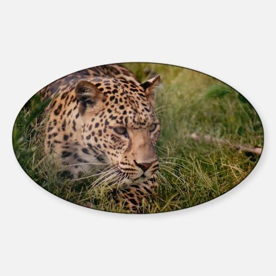 Amur Leopard Sticker (Oval)
