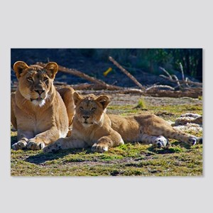 """""""Lioness and Cub"""" Postcards (Package of 8)"""