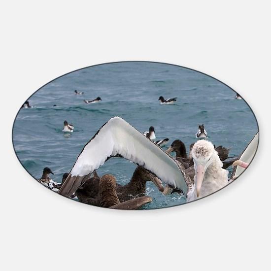 Kaikoura Coast. Fighting wandering  Sticker (Oval)