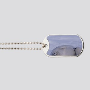 Harp seal (Phoca groenlandica) and pup la Dog Tags