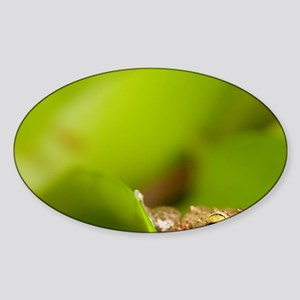 Close up of Common Coqui (Eleuthero Sticker (Oval)