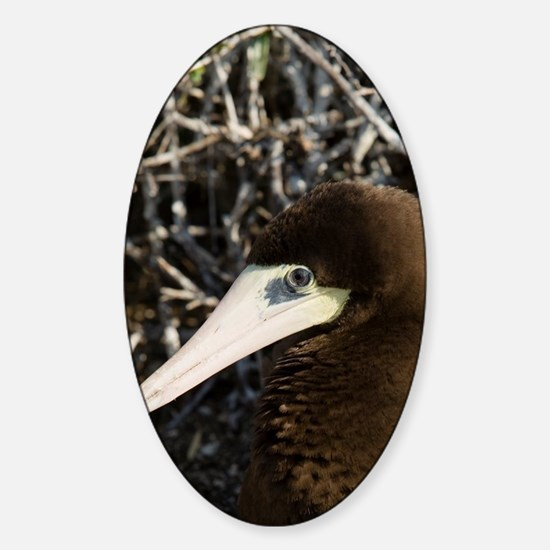 Brown Booby nesting with eggs, Caym Sticker (Oval)