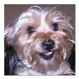 Yorkie Square Car Magnets