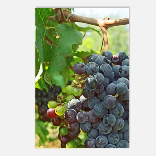 A ripe bunch of grapes, p Postcards (Package of 8)