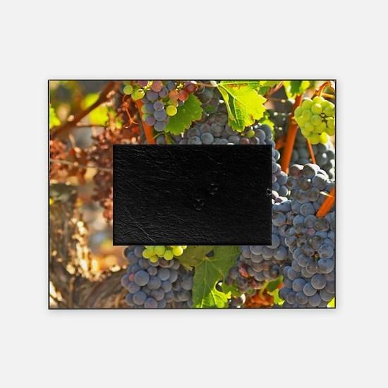 A cabernet Sauvignon vine, circa 35  Picture Frame