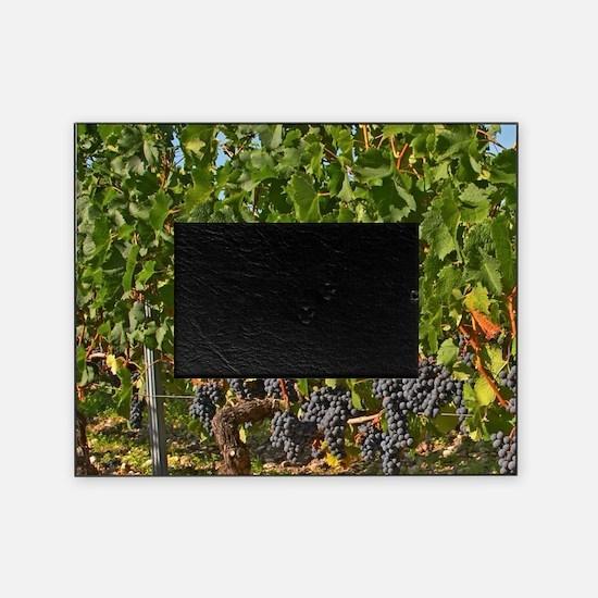 A vine with ripe Merlot grape bunche Picture Frame