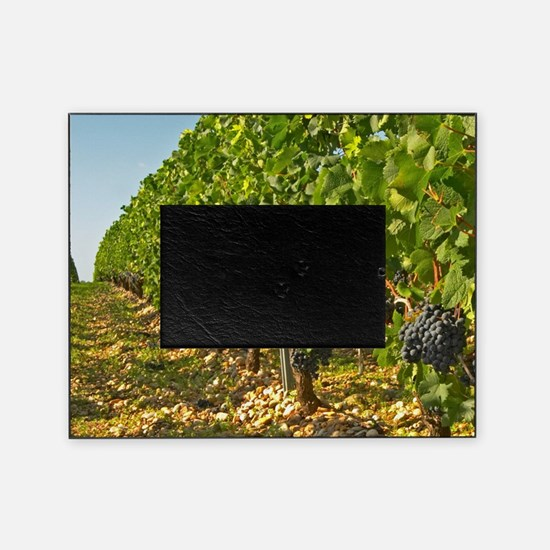 Cabernet Sauvignon vines in a row in Picture Frame