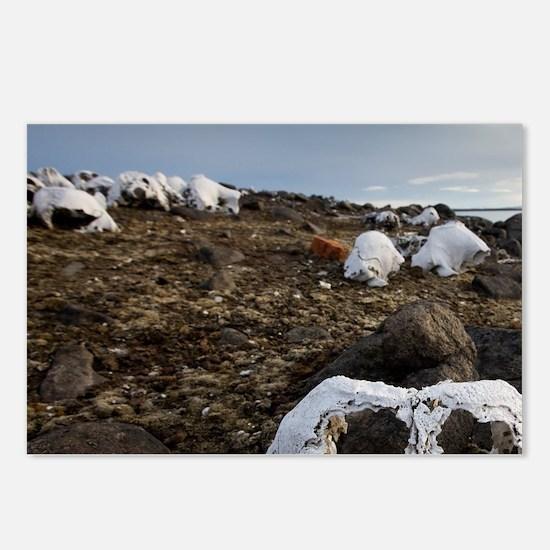 300-year-old Walrus bones Postcards (Package of 8)