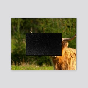 Hairy Highland longhorn cattle. Brow Picture Frame