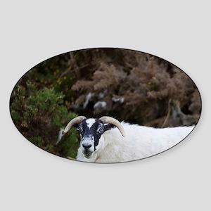 Scottish Blackface Sheep, Islay isl Sticker (Oval)