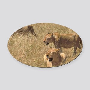 3 hunting lions Oval Car Magnet