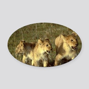 3 african lions Oval Car Magnet