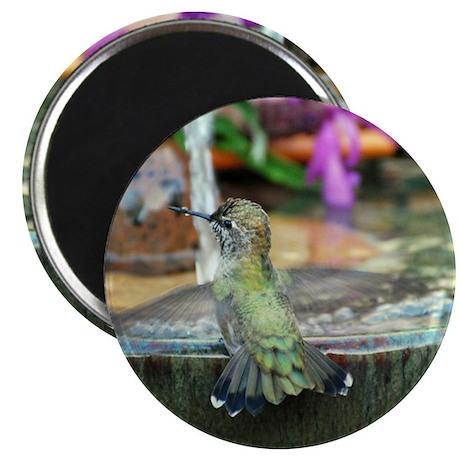 Baby Annas Hummingbird Magnet