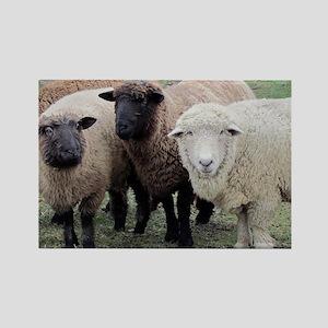 3 Sheep at Wachusett Rectangle Magnet