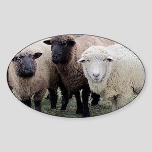 3 Sheep at Wachusett Sticker (Oval)