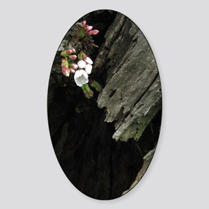 Cherry Blossom Early Bloom Washingt Sticker (Oval)