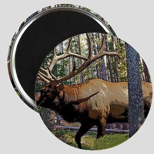 Bull elk in pines Magnet