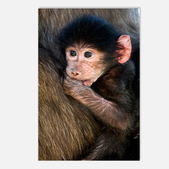 Young Chacma baboon Postcards (Package of 8)