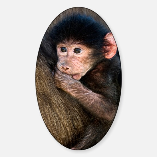 Young Chacma baboon Sticker (Oval)