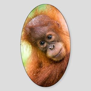 Young Sumatran orangutan Sticker (Oval)