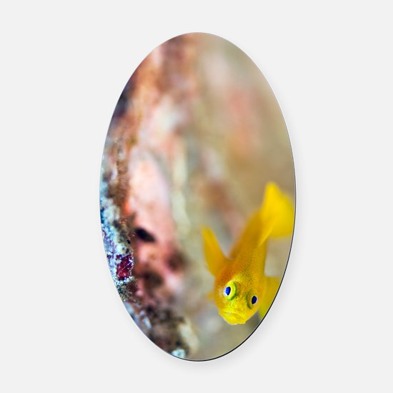 Yellow goby Oval Car Magnet