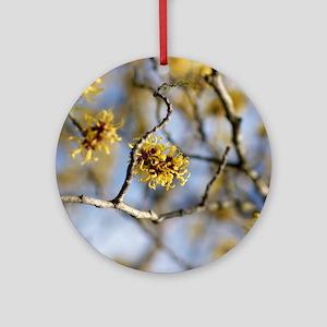 Witch Hazel (Hamamelis mollis) flow Round Ornament