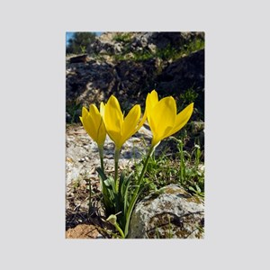 Winter daffodils (Sternbergia lut Rectangle Magnet