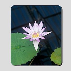 Water lily 'Blue Beauty' flower Mousepad