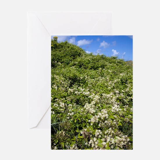Traveller's joy (Clematis vitalba) Greeting Card