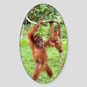 Sumatran orangutans Sticker (Oval)