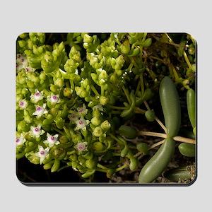 Stoeberia frutescens flowers Mousepad