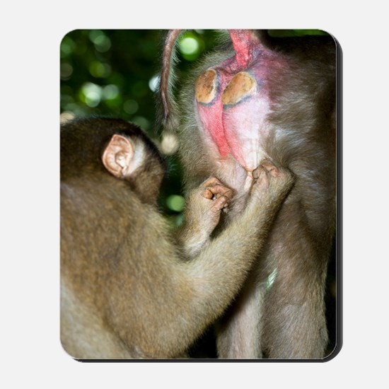 Southern pig-tailed macaques Mousepad