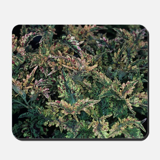 Solenostemon 'Paisley Shawl' foliage Mousepad